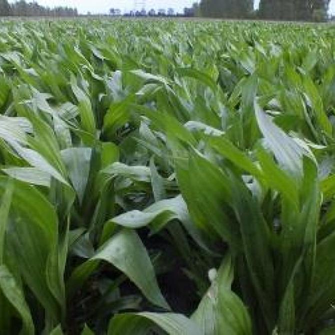 Plantain plants growing in a field