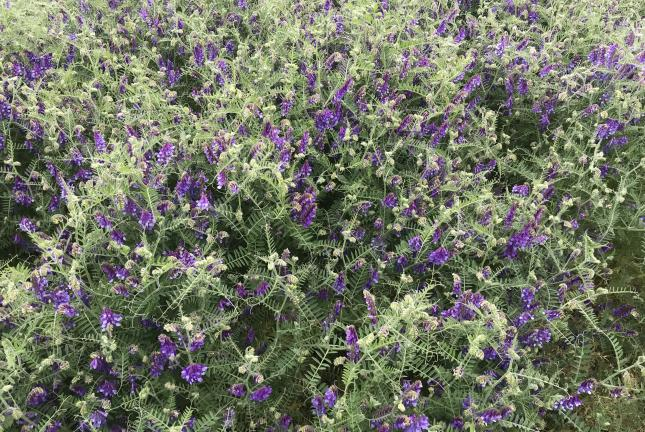 AU Merit Hairy Vetch