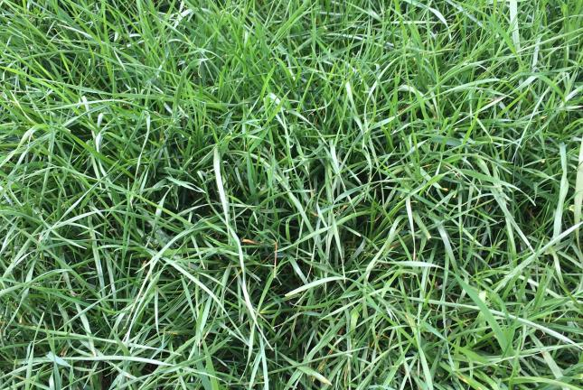 Closeup of annual ryegrass plants