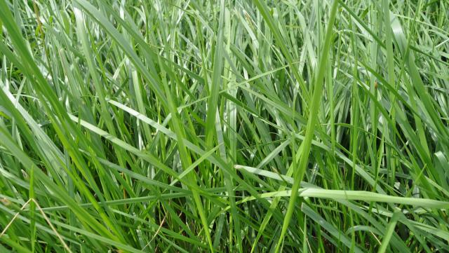 Cool Season Perennial Grass