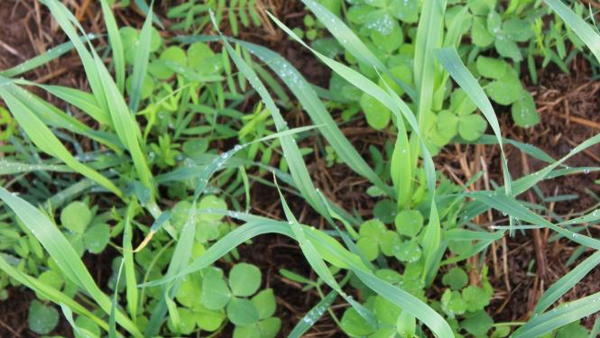 A row of cover crops