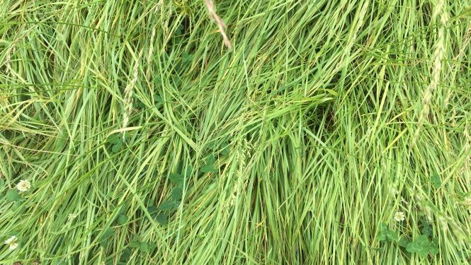 An image of grass showing nitrogen deficiency